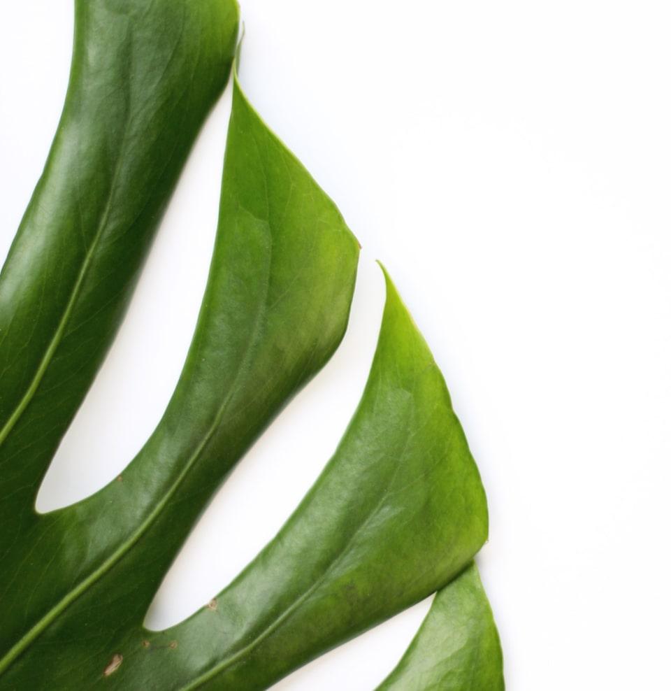 Лист пальмы фото
