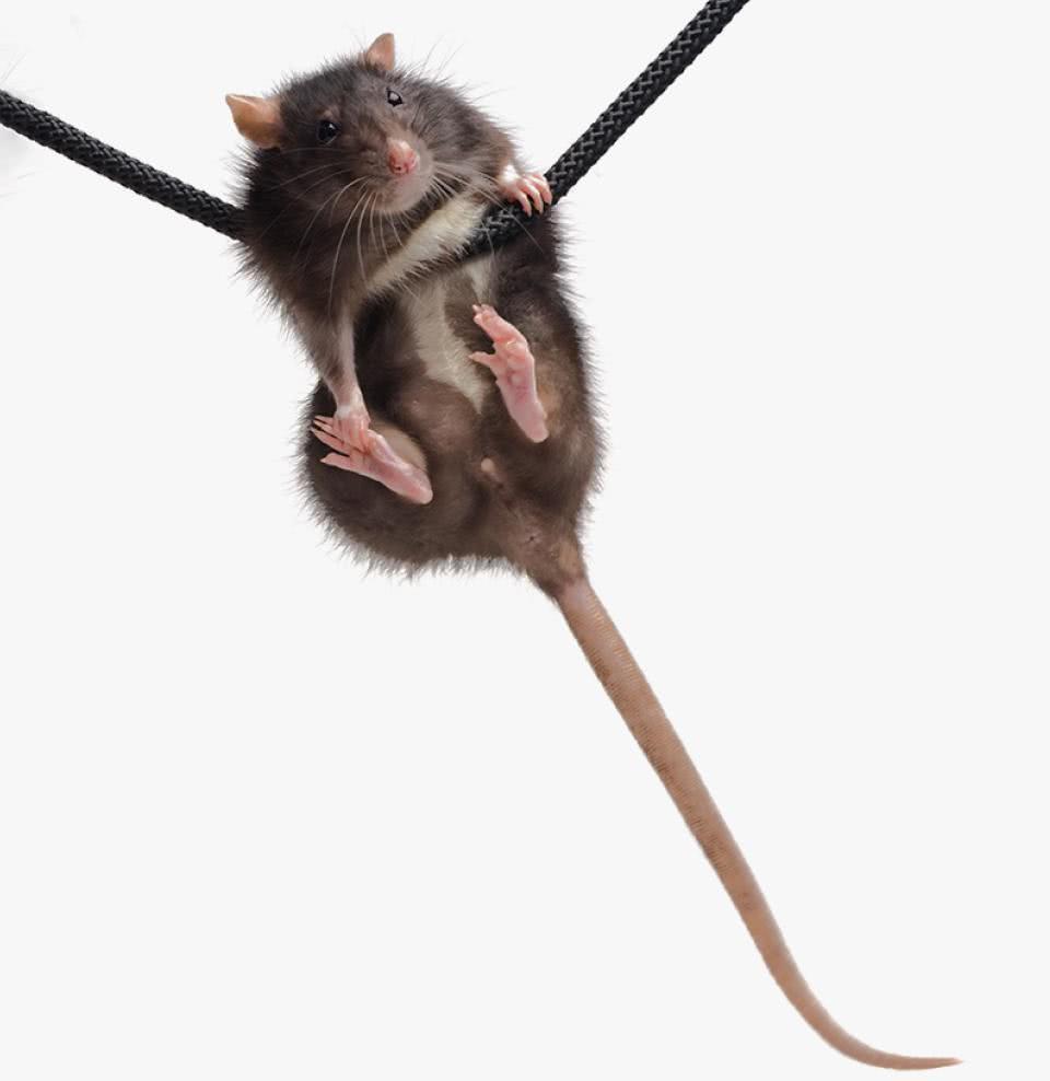 крыса держится за веревочку