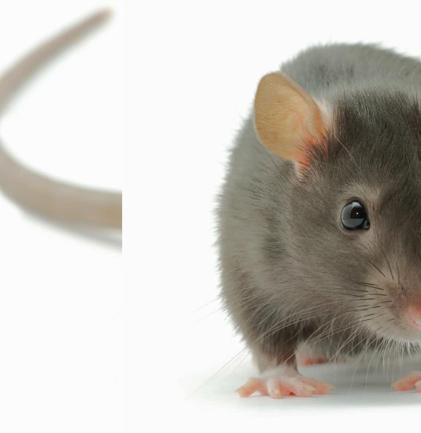 маленькая крыска позирует для фото