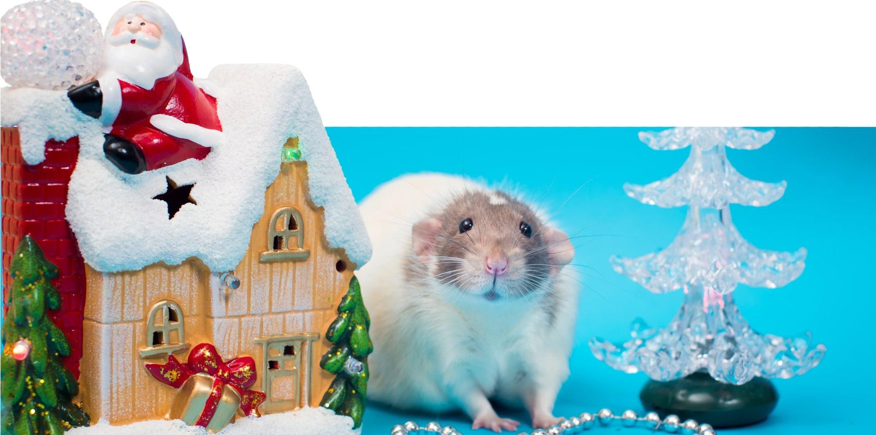 SZCZUROWNIA одесский питомник декоративных крыс щуровня