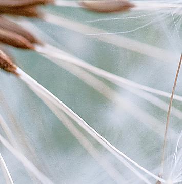 Семена одуванчика фото