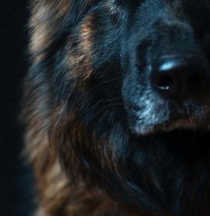 нос немецкой овчарки фото