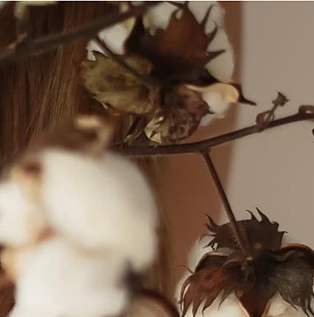 Коробочки  растения хлопок