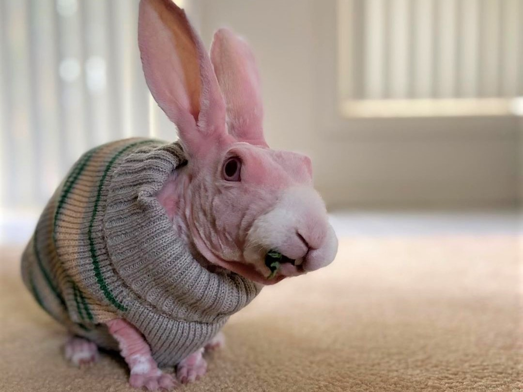 Лысый кролик