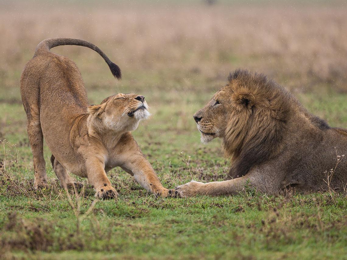 Два льва в поле