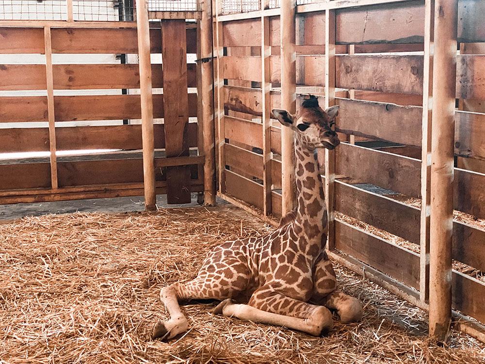 Маленький жираф