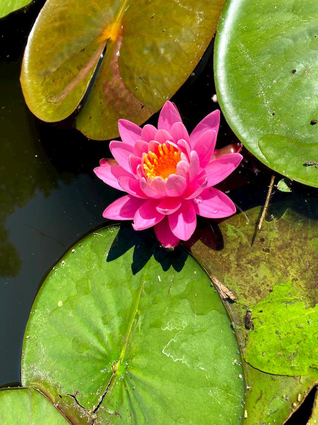 Водный цветок