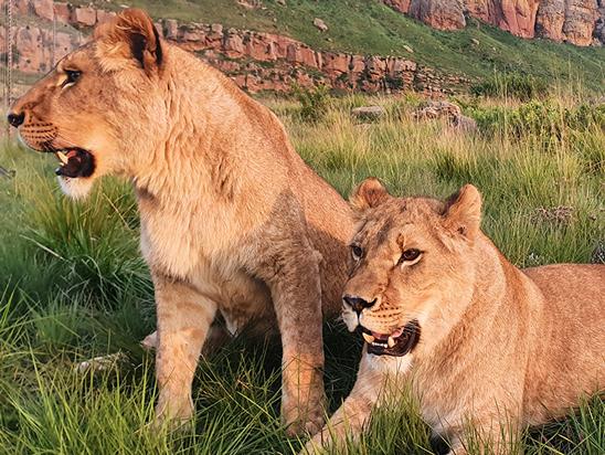 Успешная операция по спасению львов из Украины фото