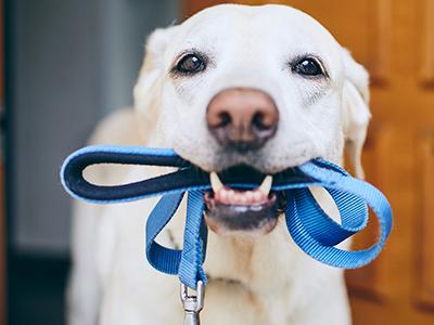 Пес с ошейником в зубах